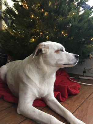 A white dog gazes into the distance while lying under a Christmas Tree