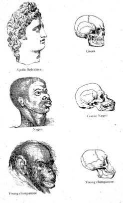 Line drawings of three heads correlated with skulls, with a classically Greek head and scull on top, followed by an African and a Chimpanzee.
