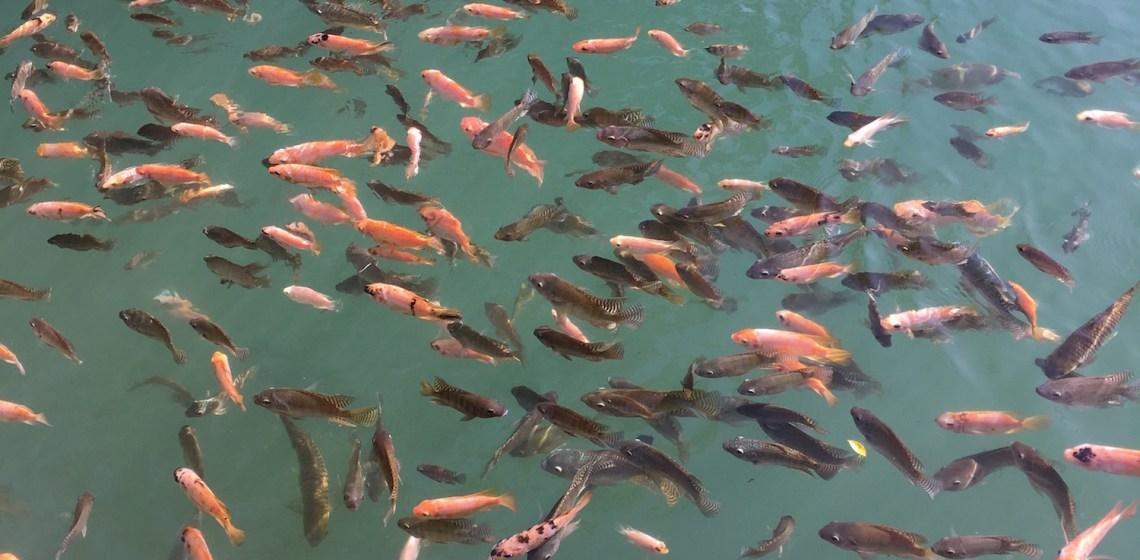 Ikan di WaterByur Sumber Ponjong