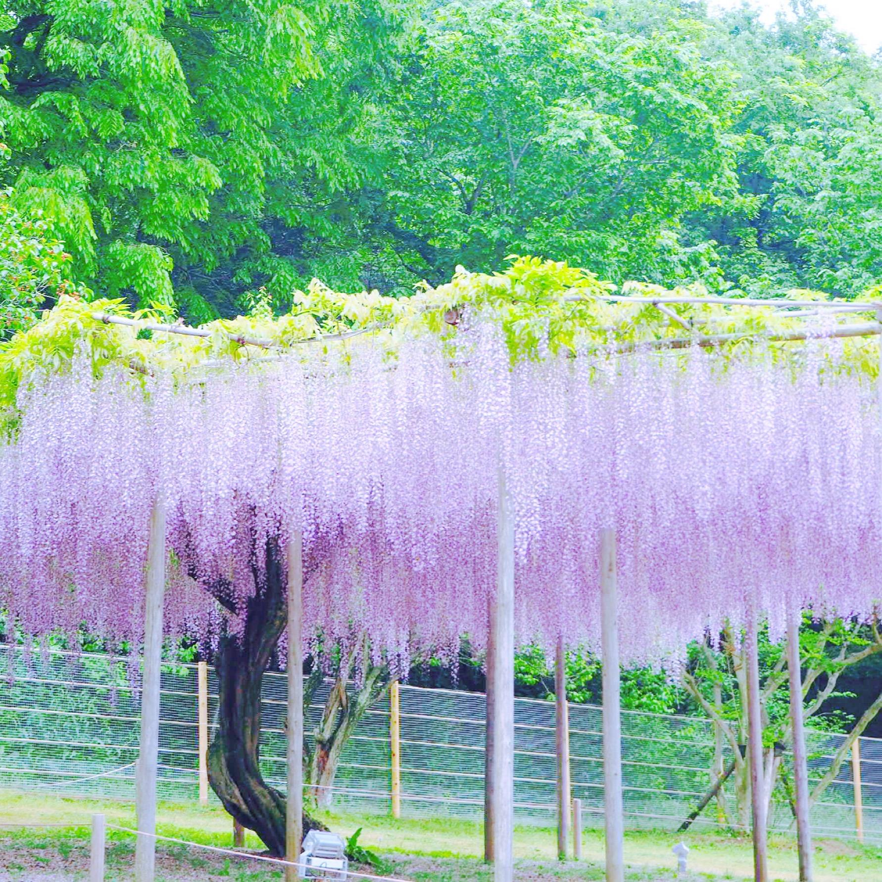 Best places watch wisteria spring Japan