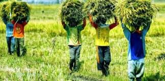 Petani Gotong Royang ketika Panen Padi Tiba/Foto via agrarisindonesia