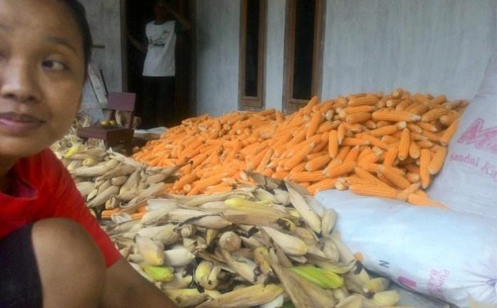 Petani Berharap Harga Jagung Ponorogo Stabil/Foto Nurcholis