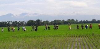 Petani Jember Semprot tanaman padi/Foto Sis24