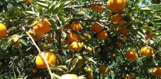 Salah satu jenis varietas Jeruk Keprok/Foto Istimewa
