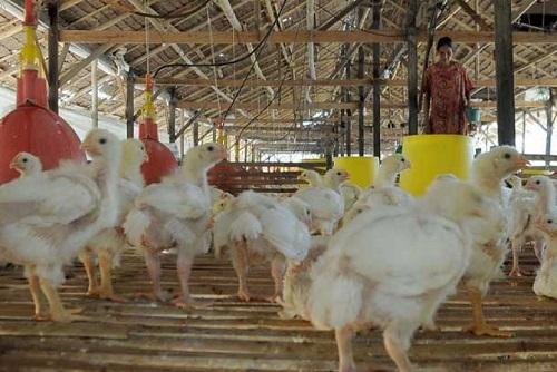 Peternakan Ayam (Ilustrasi). Foto: Dok. Republika