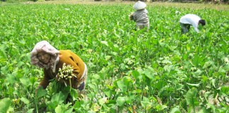 Seorang Petani Memanen Genjer/Foto via latitudes/Nusantaranews
