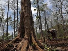 Hutan Jati (Ilustrasi). Foto: Dok. libregraphics.asia