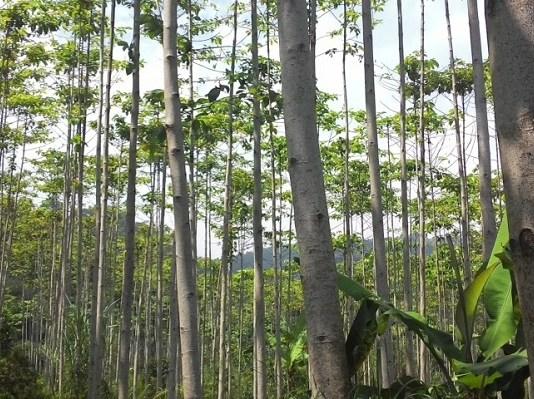 Pohon Jabon (Foto via senja.co)