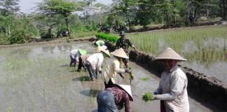 Babinsa Gandusari Tanam Padi membantu petani menanam padi. (Foto: NUSANTARANEWS.CO/Amrin)