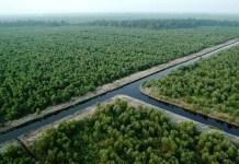 Lahan garapan milik Riau Andalan Pulp and Paper (PT RAPP). Foto: Dok. Istimewa