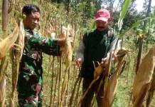 Peran Aktif Babinsa Koramil 0807/15 Pagerwojo Serda Jumadi bersama PPL Desa Gondanggunung dalam Mewujudkan Ketahanan Pangan. Foto: Dok. DM 0807/ NusantaraNews