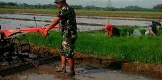 Babinsa Ds. Tanjungsari Koramil 0807/02 Boyolangu, jajaran Kodim 0807/Tulungagung, Serda Suhartono turun langsung ke sawah, membantu petani di desa binaannya. Foto: Dok. Koramil 0807/02 Boyolangu
