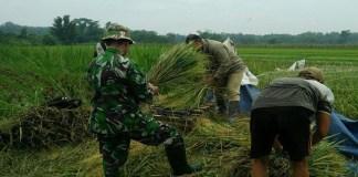 Panen Padi di Sendang. Foto: Istimewa