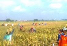 Kelompok Tani Rukun Makmur IV dusun Pasinan, desa Kepuhanyar Kecamatan Mojoanyar, Kabupaten Mojokerti, Jawa Timur, Selasa (20/2). (Foto: Istimewa)