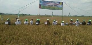 Bupati Lamongan, Jawa Timur, Fadeli bersama pejabat Kabupaten Lamongan lainnga mengikuti panen raya padi. (Foto: Istimewa)