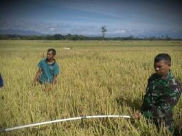 UPT Distan Kecamatan Jetis Handayani dan Kopka Hari Susilo dampingi Poktan Sri Wahyu pengukuran perkiraan hasil produktivitas tanaman padi. (Foto: Muh Nucholis/NusantaraNews)