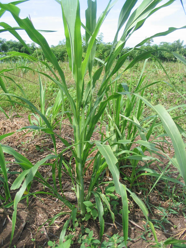 Jenis Rumput Rumputan : jenis, rumput, rumputan, HIJAUAN, PAKAN, TERNAK:, Rumput, Gajah, Agribisnis, Perdesaan, Provinsi