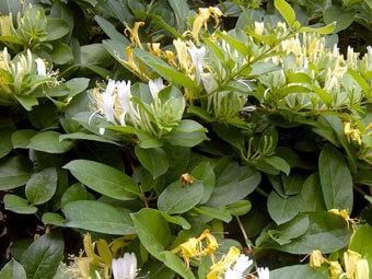 Lonicera Japonica (Honeysuckle) Flower Extract, Lonicera Caprifolium (Honeysuckle) Flower Extract