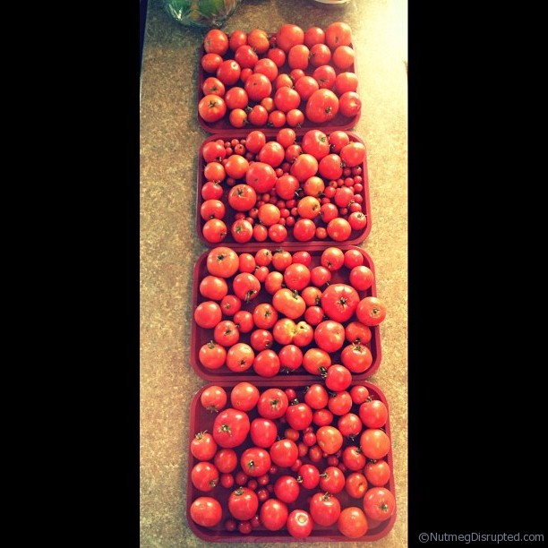 A bumper crop of tomatos from the Nutmeg Disrupted gardens