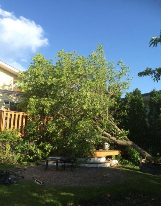 A huge maple tree down from a summer storm.