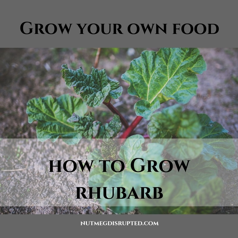 Grow Your Own Food How To Go Rhubarb with Nutmeg Disrupted