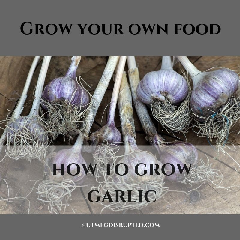 Grow Your Own Food How to Grow Garlic with Nutmeg Disrupted
