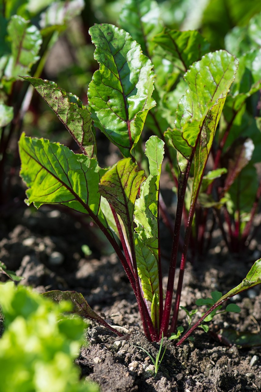 Beets are part of a cool weather crop on Nutmeg Disrupted
