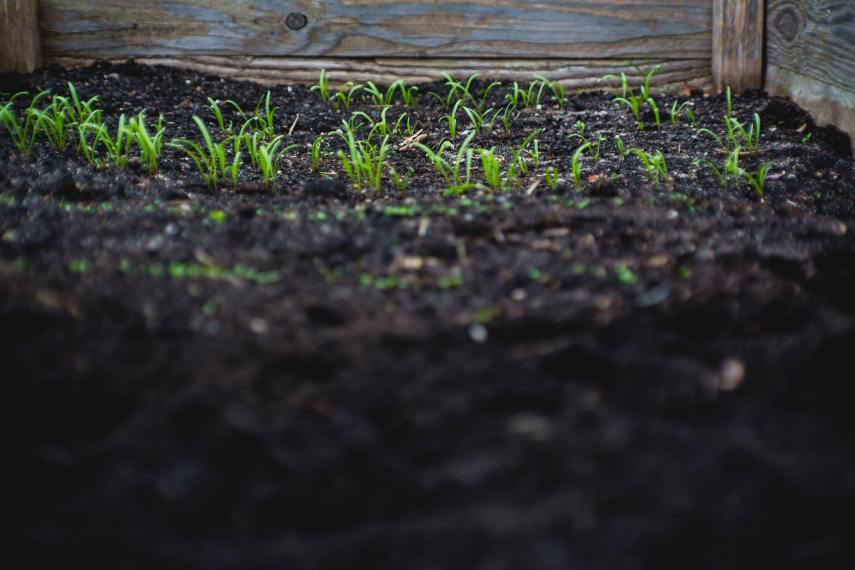 Seedlings planted outdoors on Nutmeg Disrupted