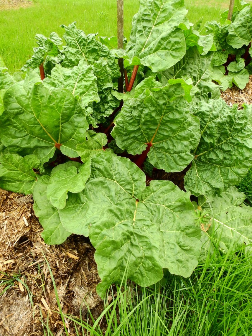 Rhubarb plant in the third year on Nutmeg Disrupted