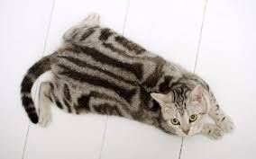 Кошка с дисплазией беременна что делать. Как распознать и лечить дисплазию суставов у кошек