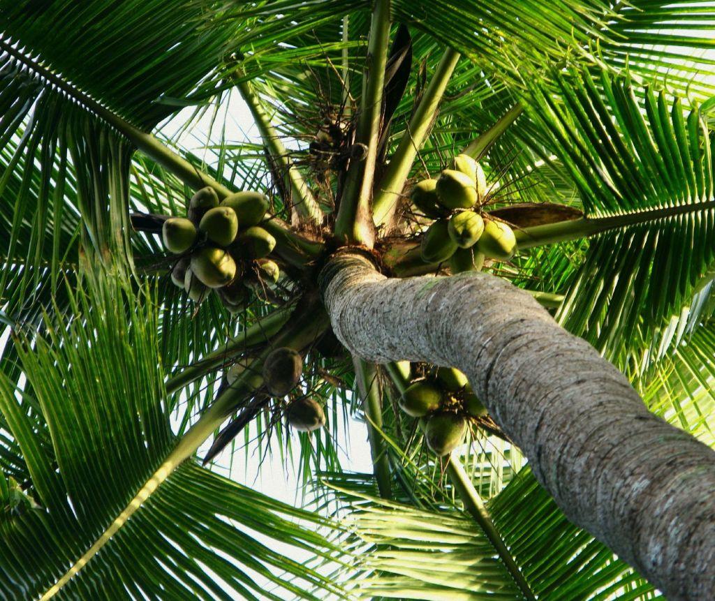 cocotero con cocos