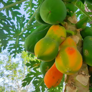 Papaye Nutrigam