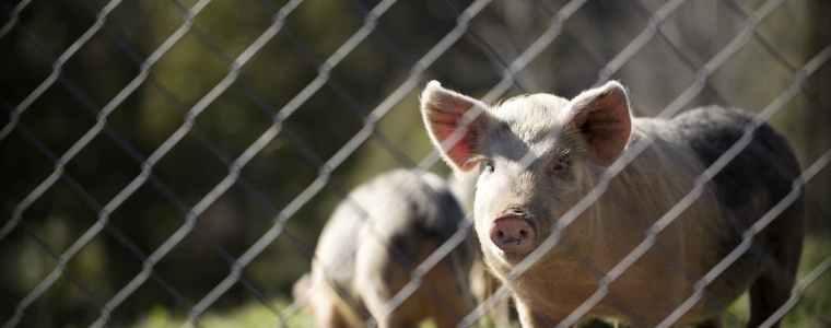 禁肉令-日本-動物保護法-養豬歷史