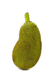 A Whole Jackfruit Fruit Showing Hard Green Skin.