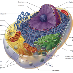 3d Animal Cell Diagram Da Lite Motorized Screen Wiring Mitochondrial Dysfunction, Nutrition And Aging   Review