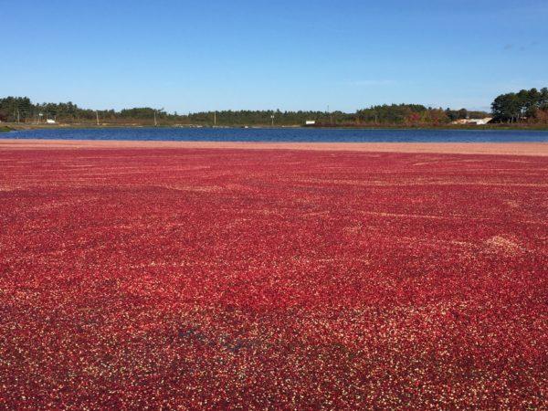 Cranberry Bog in Massachusetts