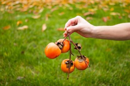 Holding a bunch of persimmons