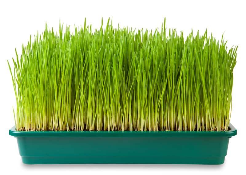 Wheatgrass in a planter