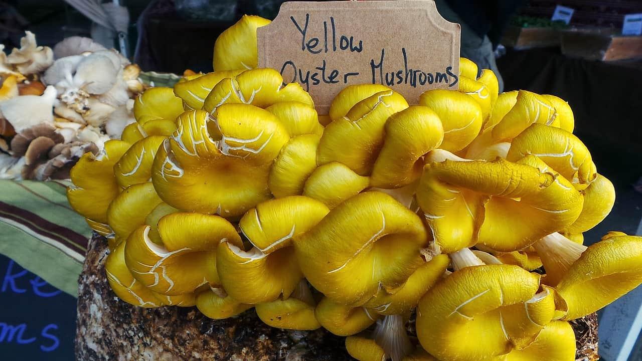 Golden Oyster Mushroom