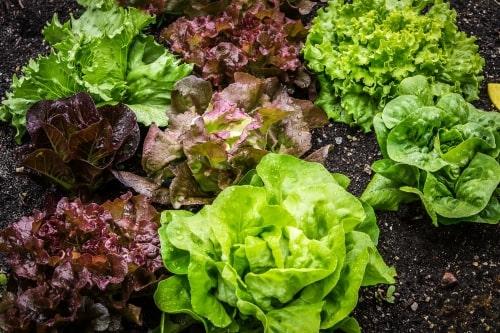 lettuce for salad base