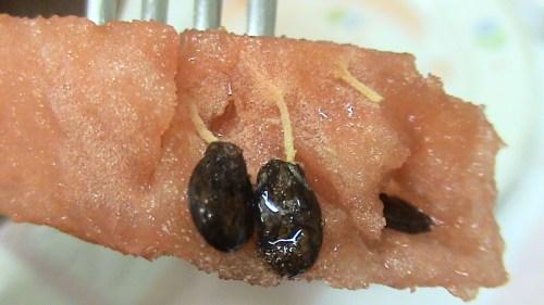 Semi di anguria germogliati