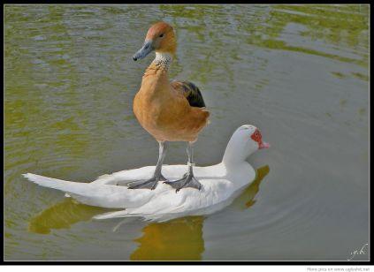 goose 7