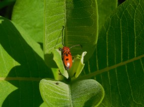 Milkweed and one of its many dedicated followers
