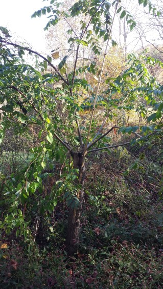 single year of growth of grafts on black walnut