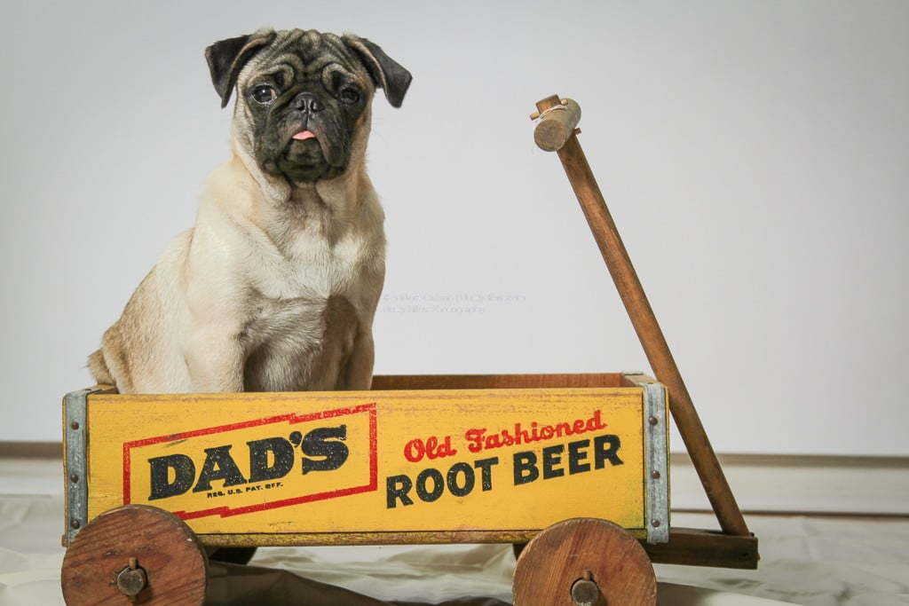 Pug Model in a photography shoot