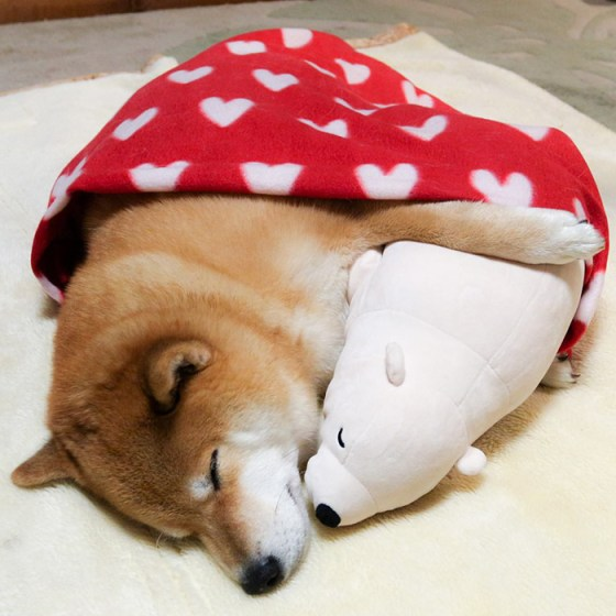 Credit: http://static.boredpanda.com/blog/wp-content/uploads/2016/01/dog-shiba-inu-sleeps-teddy-bear-same-position-maru-17.jpg