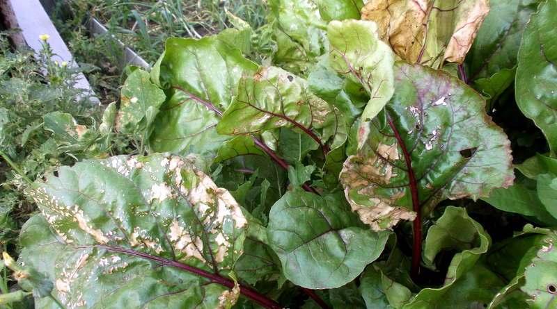 Что растет в огородах под трубой ММСК