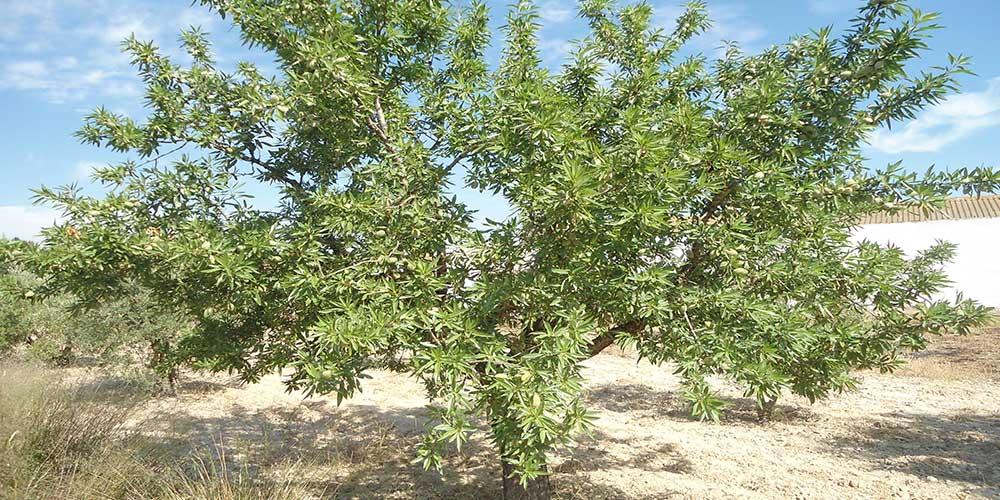 Amandelboom (Prunis dulcis)