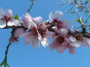 almond-blossom-102001_960_720