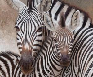 Zebra mother and foul painting by Danie Marais
